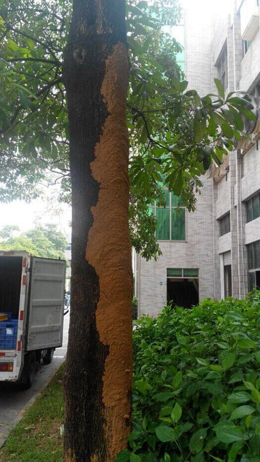 深圳灭白蚁公司分析白蚁对树木危害的表现特征